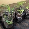 Les semis de printemps au potager