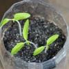 Suivi des semis de tomate en bouteille