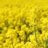 Les engrais verts : Où, quand, quoi, comment ?