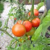 Le bilan des tomates au potager en carrés