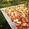 Des feuilles pour couvrir votre potager