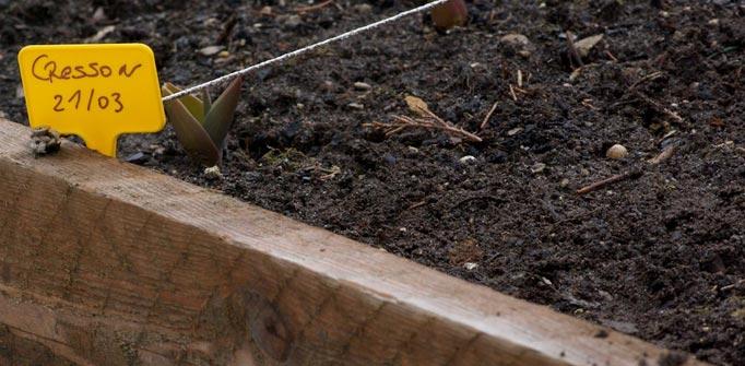 Semis de cresson au potager