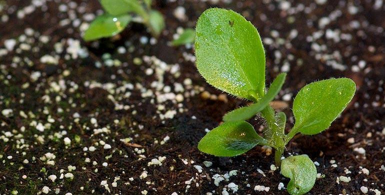 Repiquage des plants