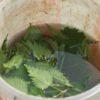 Préparation du purin d'orties