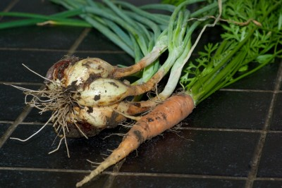 Récolte de carottes et d'échalote