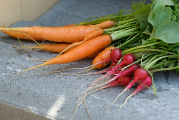 Récolte de carottes et de radis