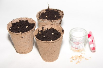 Semis de piment de Cayenne