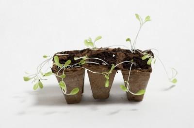 Semis de laitue qui ont filés