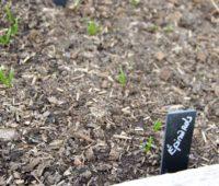 Les épinards sortent de terre