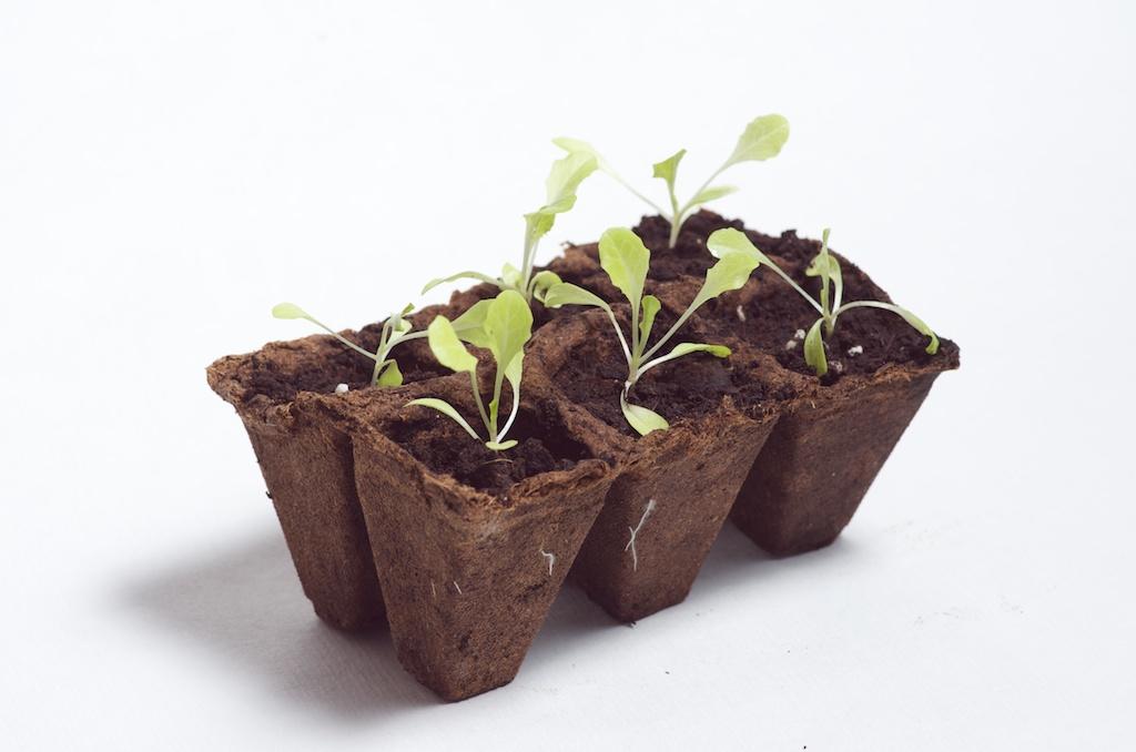 l 39 tat des semis du potager au d but du mois de mars. Black Bedroom Furniture Sets. Home Design Ideas
