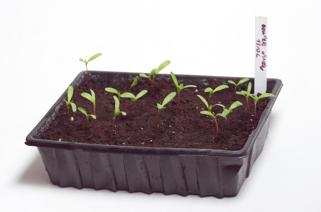 L 39 tat des semis du potager au d but du mois de mars - Semis oeillet d inde ...