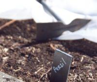 Semis de persil en pleine terre
