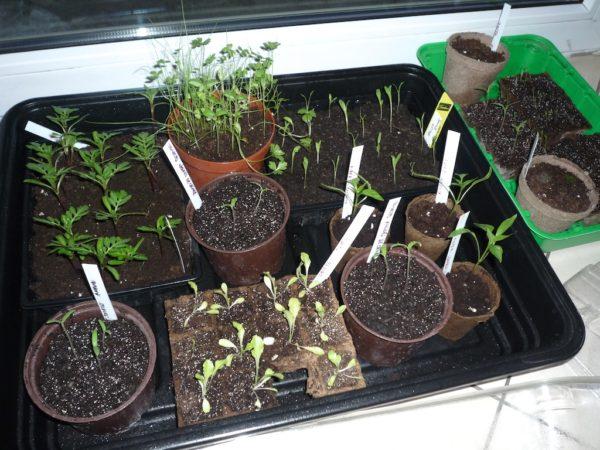Une partie des semis (tomates, piments, salade...)