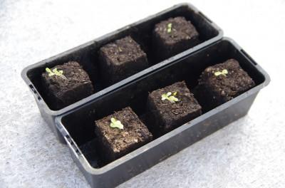 1 semaine après les semis, les premières pousses