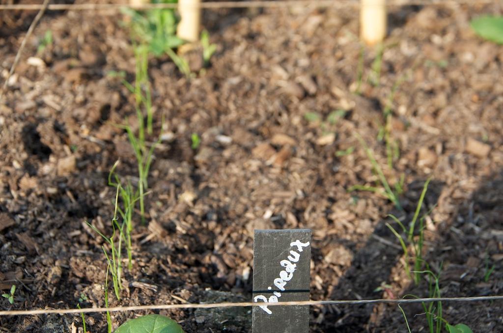 Les semis poussent au potager en carr s - Comment pousse les kiwi ...