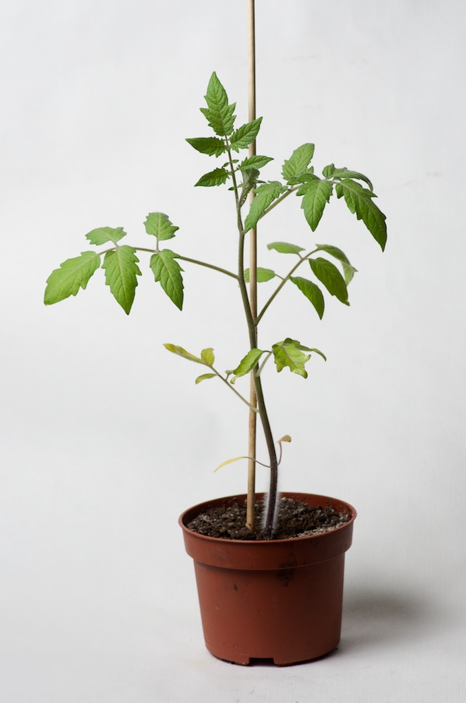Les semis poussent au potager en carr s - Distance entre pied de tomate ...