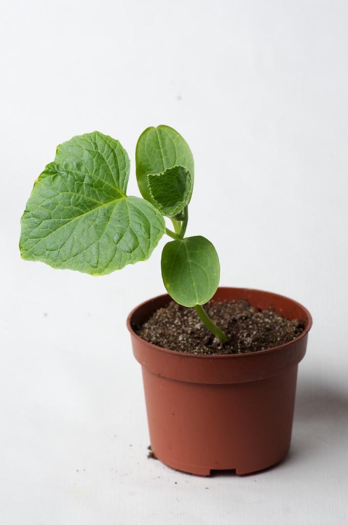 les semis poussent au potager en carr s. Black Bedroom Furniture Sets. Home Design Ideas