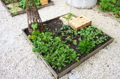Beaucoup de verdure dans le 3ème carré : mesclun, laitue et roquette