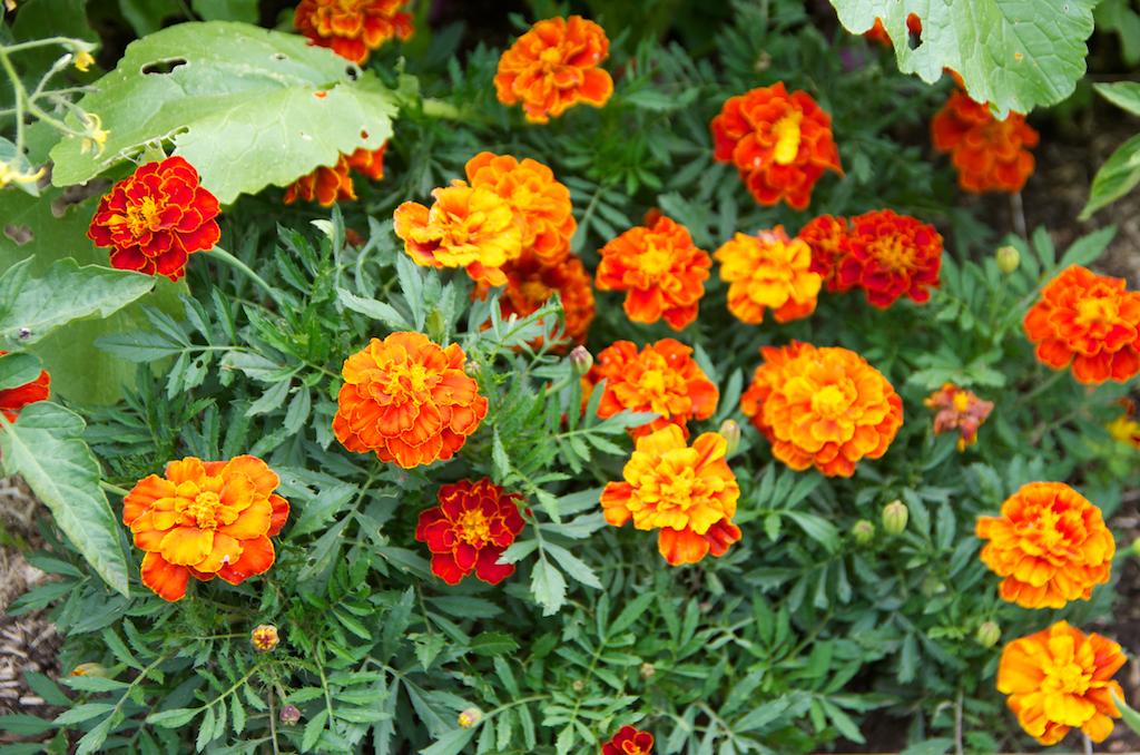 5 fleurs pour apporter de la couleur votre potager en carr s. Black Bedroom Furniture Sets. Home Design Ideas