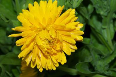 Fleur jaune de soucis