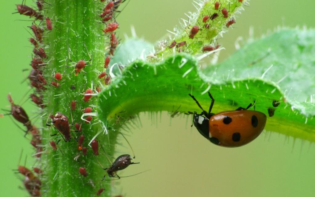 les insectes sont b n fiques pour votre potager en voici une liste. Black Bedroom Furniture Sets. Home Design Ideas