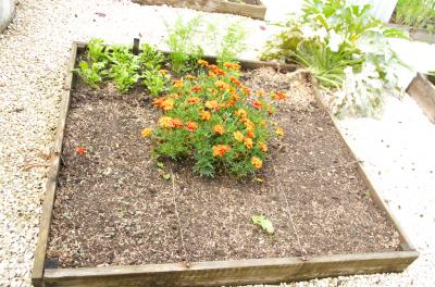 Semis d'engrais verts