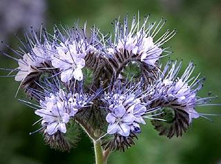 Fleur de Phacélie