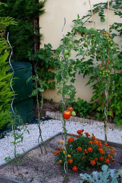 Pieds de tomate après le passage du mildiou