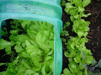 Salade sous mini serre