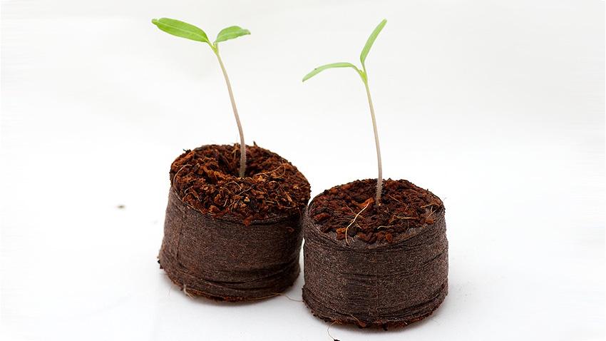 Semis de tomates sur pastilles de coco