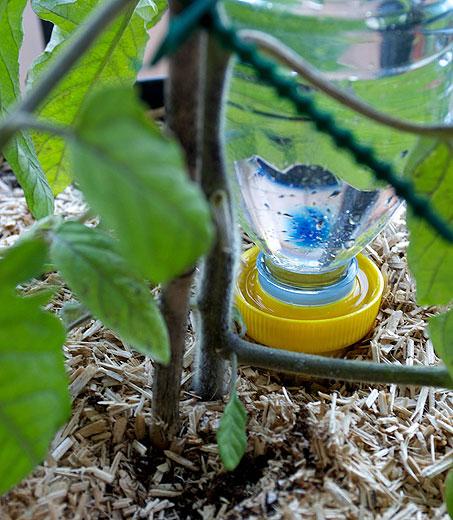 Goutte à goutte installé sous un pied de tomate