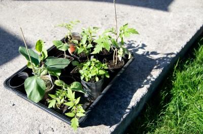 Jeunes plants de tomates, de piments et d'aubergines