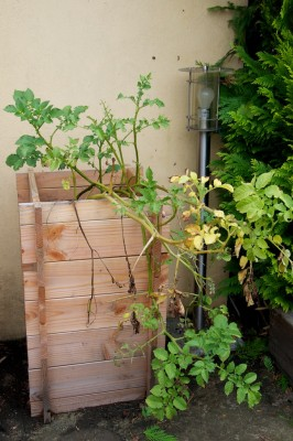 La tour à patate est prête à être récoltée