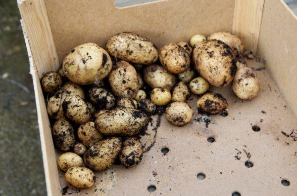 Récolte de la tour à patates