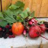 Récoltes au potager en carrés