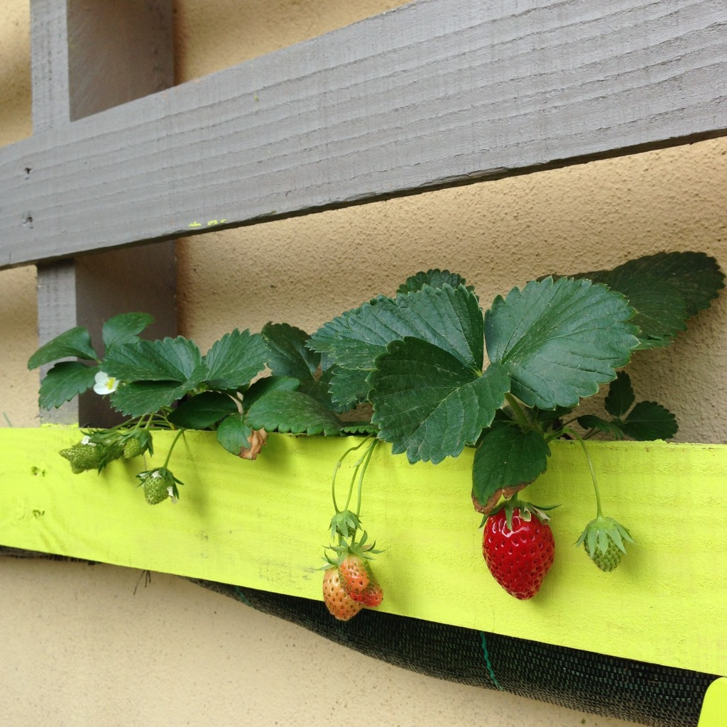 fraises dans palette autour du potager. Black Bedroom Furniture Sets. Home Design Ideas