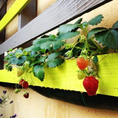"""Les fraises se développent dans la """"palette potagère"""""""