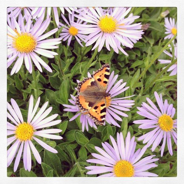 Papillon Potager