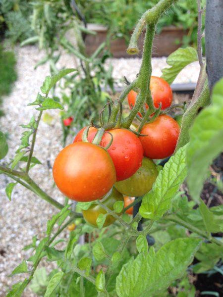Tomates au potager en carrés