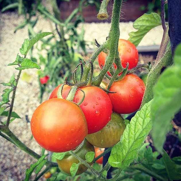 Plant de tomate au potager en carrés