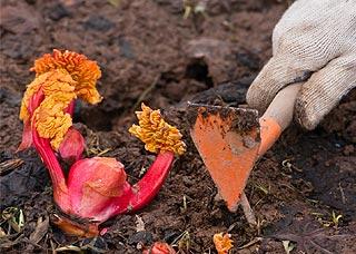 La rhubarbe du potager