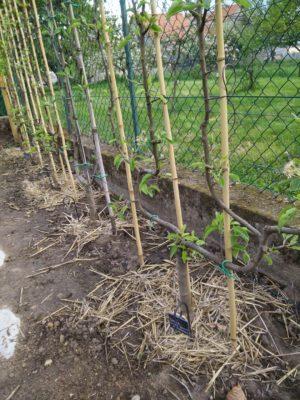 Fruitier palissé autour du potager