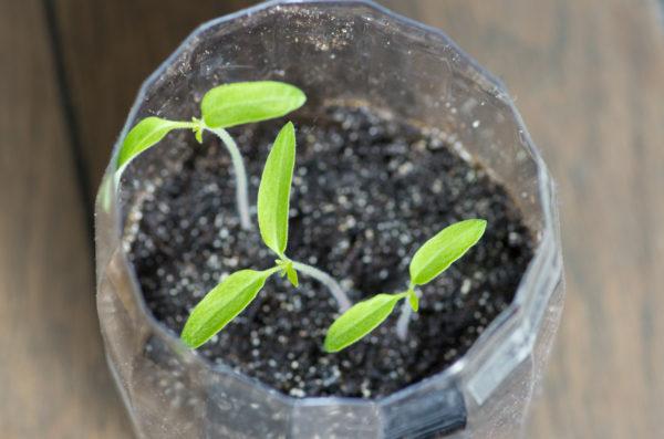 semis de tomates en bouteille