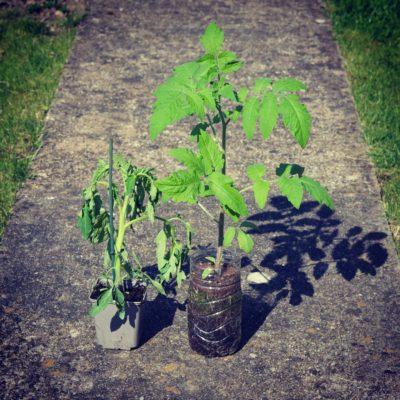 Semis de tomate en bouteille