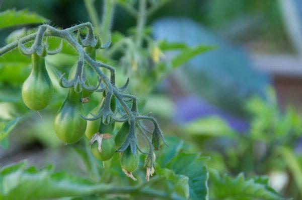 Tomate Poire Au Potager