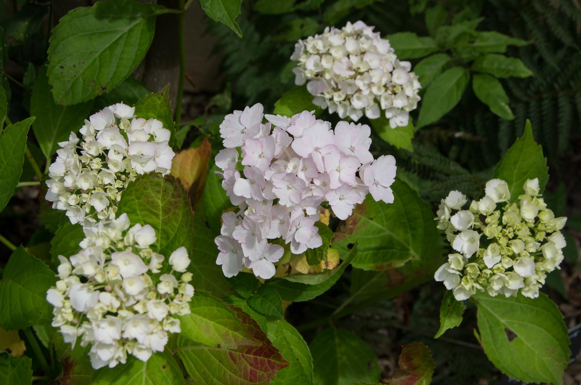 arbuste fleurs blanches odorantes fabulous jembaume mon intrieur avec des plantes fleurs. Black Bedroom Furniture Sets. Home Design Ideas