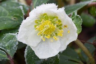 Hellebore gelée en hiver