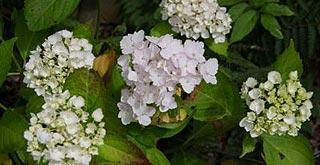 Fleur d'hydrangea