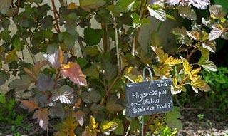 Physocarpe