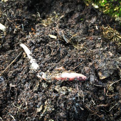 Ver de terre dans le compost